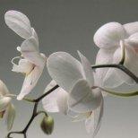 Съвети как да си отгледаме успешно орхидеи