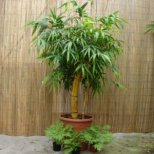 Как се отглежда бамбук на щастието вкъщи