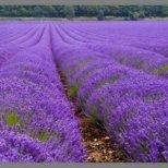 Лавандулата - лек от природата и цвят лесен за обичане