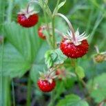 Здравословната билка горска ягода и плод
