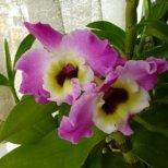 Как се отглежда орхидея Дендробиум