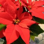 Как се отглежда Коледна звезда