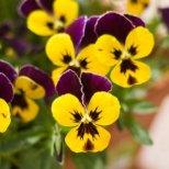 Как да се грижим за трицветна теменуга