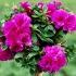 Кои са цветята, които пречистват въздуха у дома