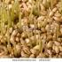 Защо е полезен зародишът от пшеница