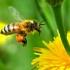 Какво да правим при ужилване от пчела, или оса
