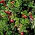 Полезните свойства на Мечото грозде