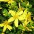 Вълшебните свойства на жълтия кантарион