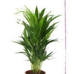 Как да отглеждаме палма Арека у дома