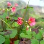 Детелина Оксалис - цветето на щастието