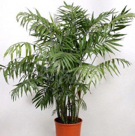 Как се отглежда палма хамедорея