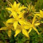 Звъника (жълт кантарион)-какво представлява и как се използва