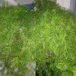 За какво е полезна билката аспарагус