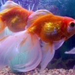 Декоративните рибки привличат пари и успех, според Фън Шуй