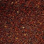 Синапеното семе спомага за ускоряване на метаболизма