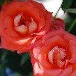 Как да отглеждаме на балкона декоративна роза