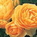 Как да отглеждаме Английски Рози