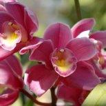Как да отглеждаме Орхидея