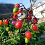 Лечение на бъбреците с билки