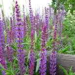 Градински чай - Салвия за болки в стомаха и гърлото
