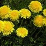 Няколко ефикасни билки за бърз метаболизъм