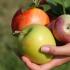 Как да запазим и съхраним ябълките за зимата. Рецепти с ябълки