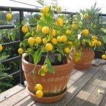 Как да отглеждаме лимон вкъщи