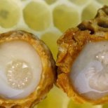 Пчелното млечице –уникален пчелен продукт