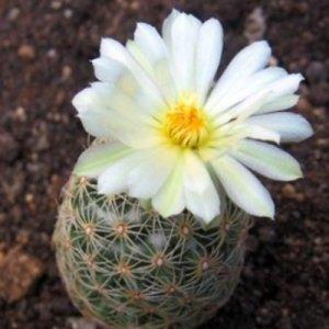 Как да отглеждаме кактуси