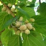 Доказано е, че това растение третира тумори, диабет и висока кръвна захар, а има много други ползи за здравето
