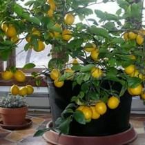 Лесно е да си отгледате лимоново дръвче у дома, няма нужда да го купувате!