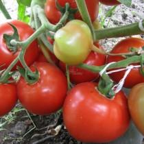 За да спасим реколтата от домати-Удачни начини за подхранване и да продължат да раждат и есента