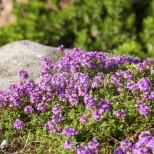 Още една златна билка от поляните на България-Трудно е да се изредят ползите от нея!