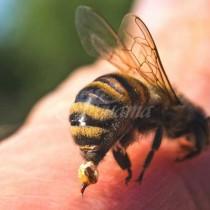 Ако ви ужили пчела, не бива да пиете алергозан!