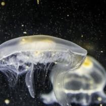 Опасни ли са черноморските медузи
