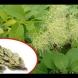 Най-силната българска билка лекува 100 болести