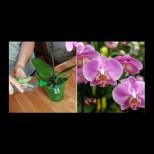 Евтина тор за орхидея. Само няколко поливания и орхидеята ви ще цъфти като обезумяла