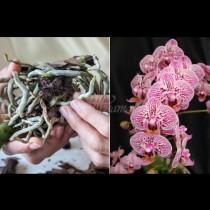 Какво да правим с корените на орхидеята, за да върнем към живот любимата си красавица: