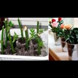 Ето как се захваща роза от отрязано цвете, за да ви радва на перваза целогодишно: