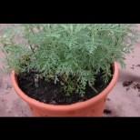 За това растение казват, че убива рак с метастази. Най-важното - буквално го тъпчем с крака!