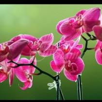 На съседката орхидеите цъфтят като полудели, моите са като марули. Е накрая ми издаде тайната си