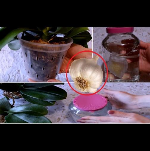 След 2 седмици пуска цветонос, а след месец е отрупана в цвят: чесънът върши чудеса с орхидеята