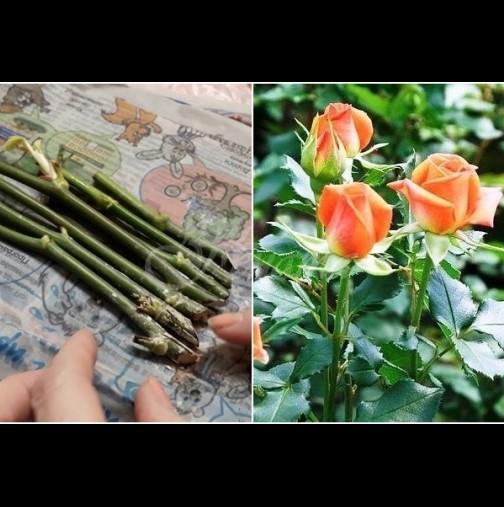 Вкореняване на роза във вестник - уникален метод със 100% успешен резултат