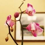 Ужас! Пъпките на орхидеята ми окапват!