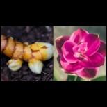 В саксия тази подправка е по- красива и от орхидея даже, грехота е да не си засадите още днес