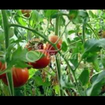 Изпитани начини за борба с мана по домати и картофи