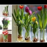 Цяла пролет лаленцата цъфтят във вазата на прозореца, не ползвам даже почва - супер лесно и много красиво: