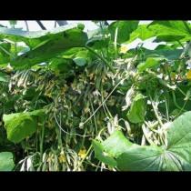 От 30 семена реколтата е 10 кофи: революционен метод за садене на краставици
