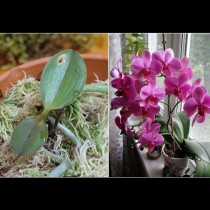 От старата орхидея ще имате най-малко 2 нови: супер лесен метод за размножаване в домашни условия