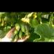 Хитът на миналото лято - как се гледат краставички на балкона: лесно, чисто и дава богата реколта